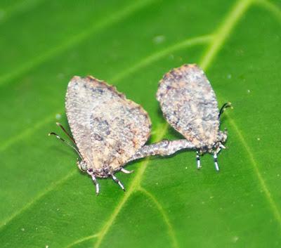 Pale Mottle (Logania marmorata damis)