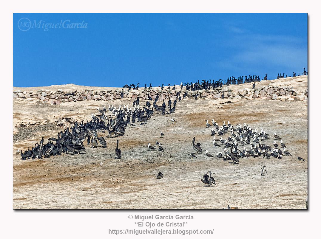 Islas Ballestas, Perú.- Aves guaneras