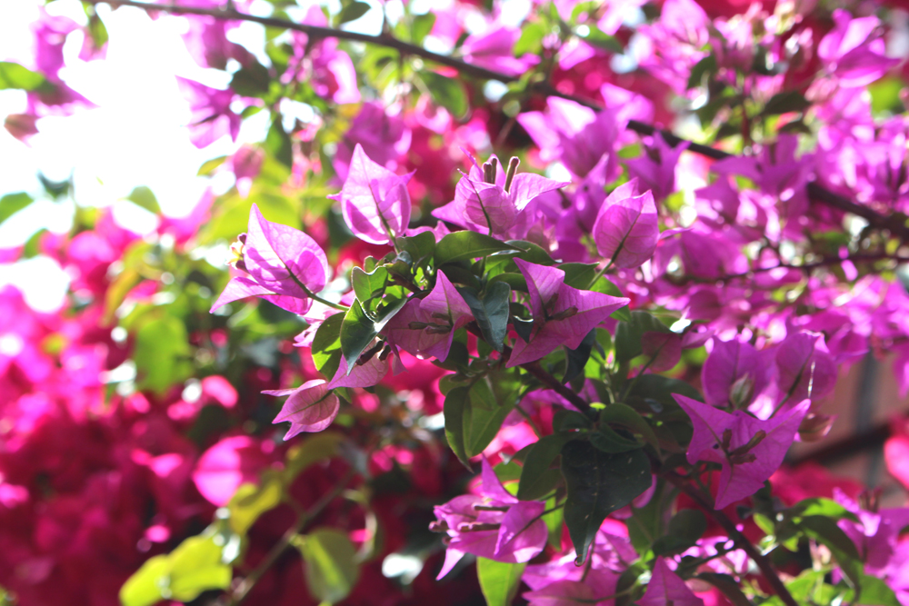 Bougainvillea in Bilbao, Spain - London travel blog