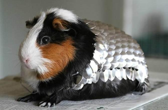 guinea pig comel