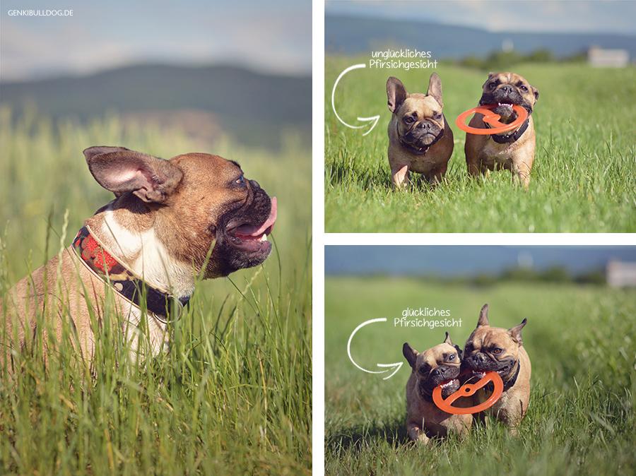 Hundbelog Genki Bulldog