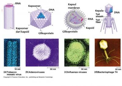 ukuran beberapa jenis virus