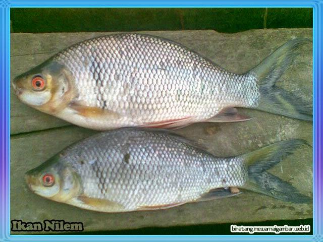 gambar ikan nilem