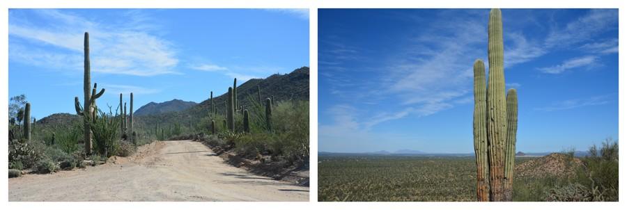 Vallées de cactus à perte de vue à Saguaro Nationa Park