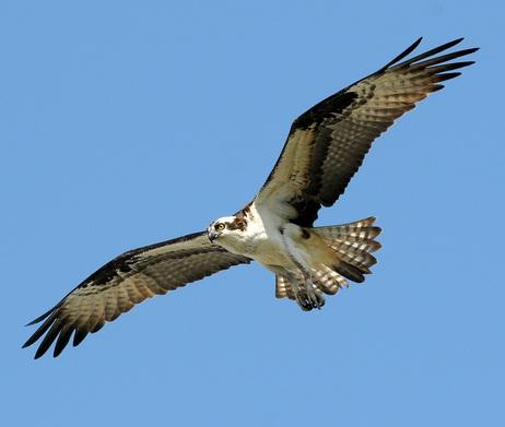 4700 Gambar Burung Elang Di Indonesia Gratis Terbaru