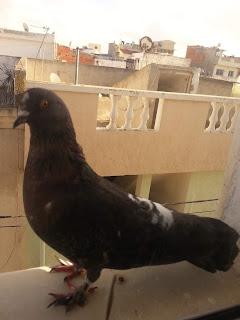 حمام  الحمام Pigeon