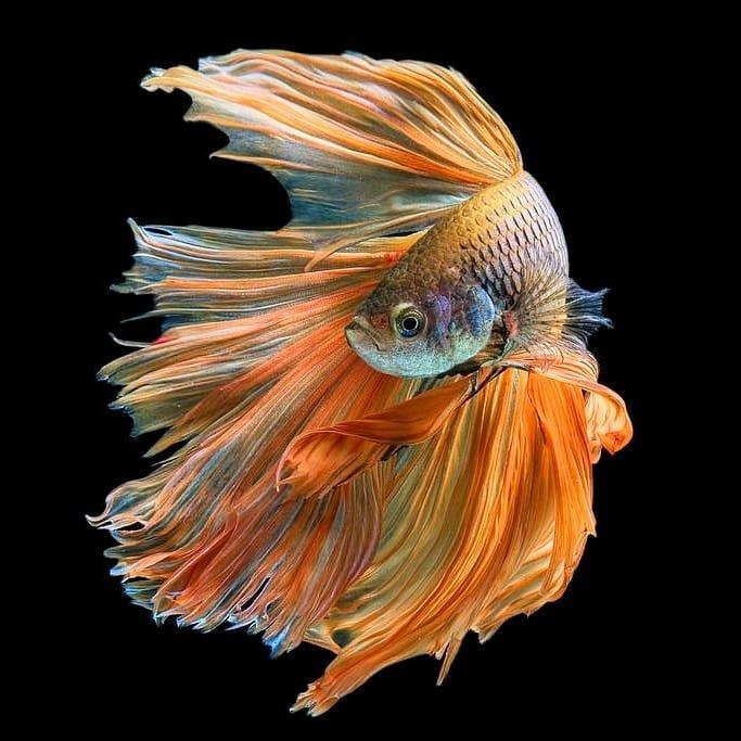 Betta Fish Wallpaper For Android - Ikan Cupang Hias Koi ...