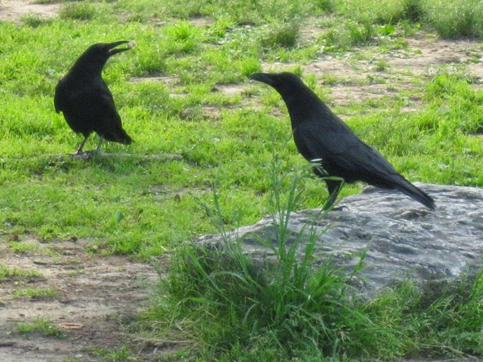 Japanese Crows.