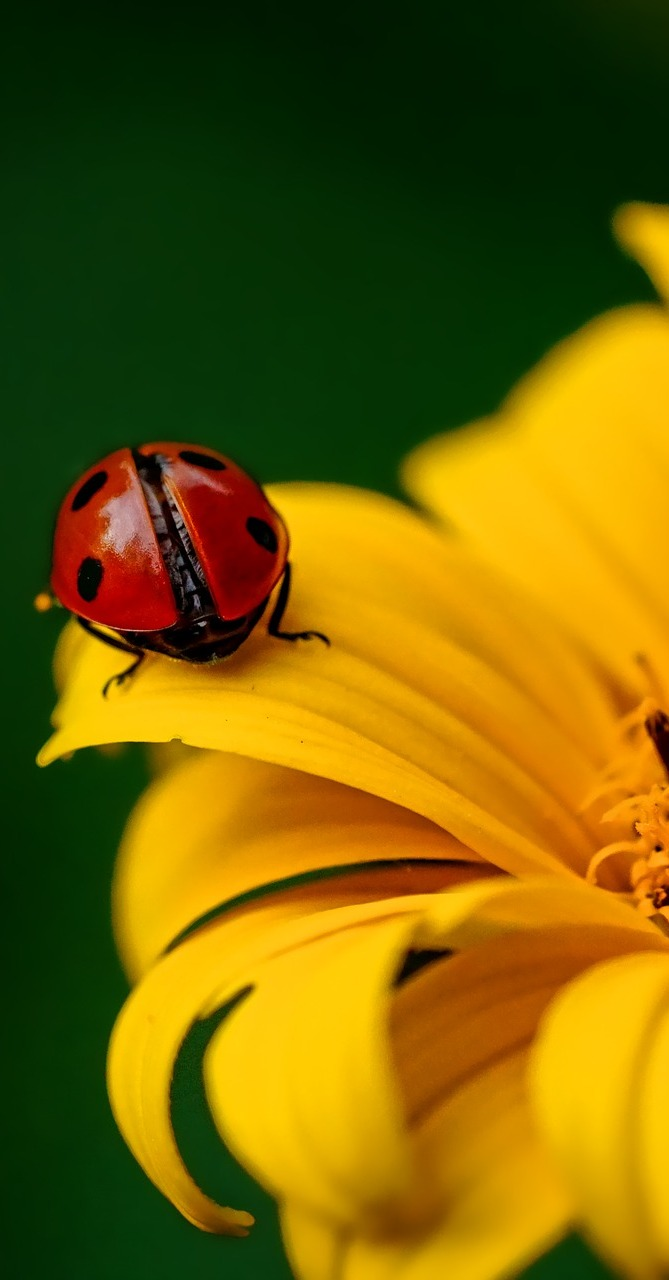 A ladybug on a yellow flower.