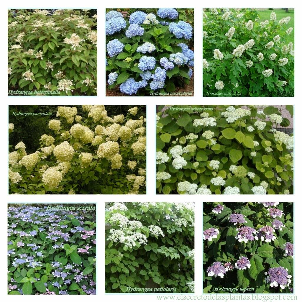 Hortensia - Variedades de hortensias ...