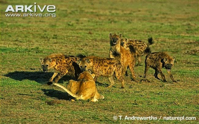 hyaenas and lions