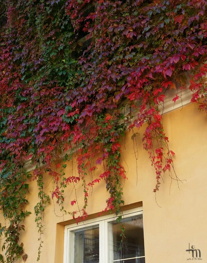 punainen villiviini talon seunustalla