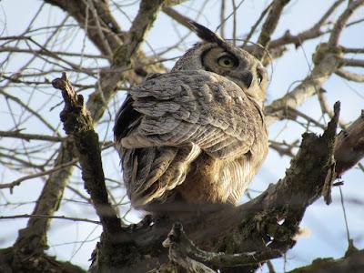 northern california owls birding birdwatching