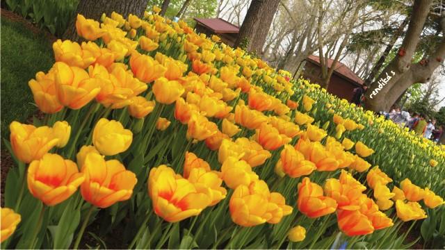 honeymoon ke Turki saat Tulip Festival di Istanbul