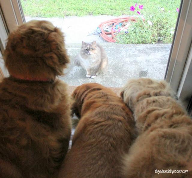 golden retriever dogs looking at cat in doorway