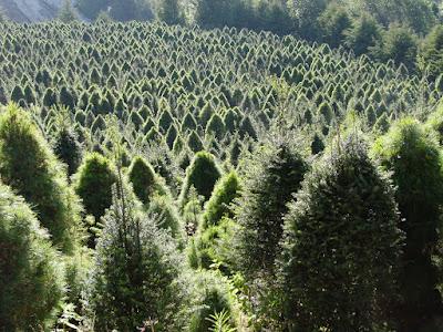 Plantación certificada puntos navideños