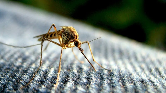 nyamuk menghisap darah untuk mendapatkan gula