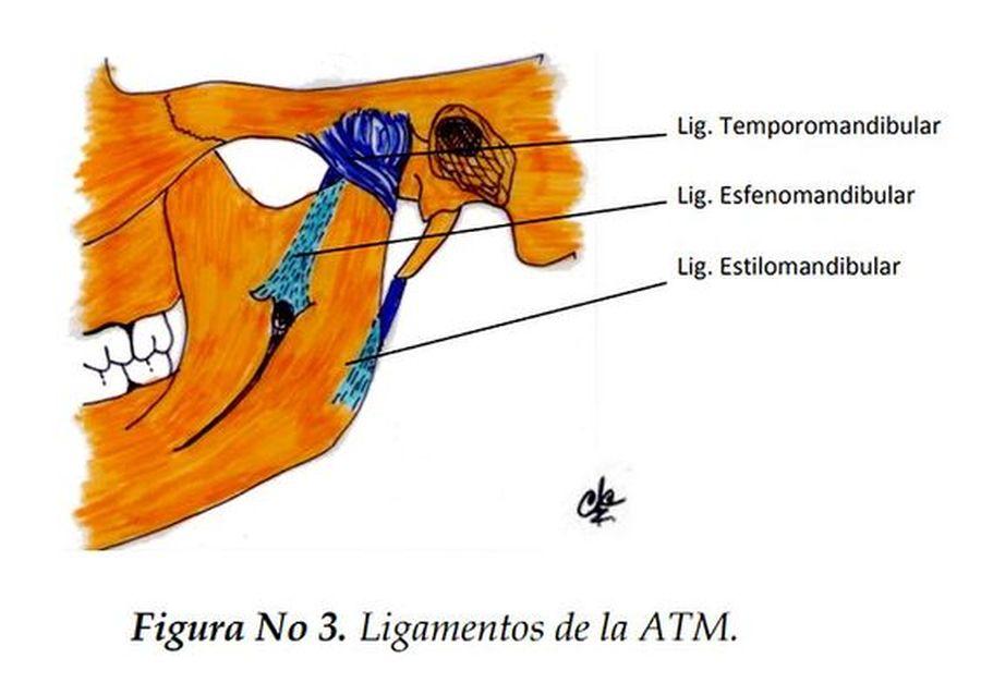PDF: Anatomía clínica de la articulación temporomandibular (ATM ...