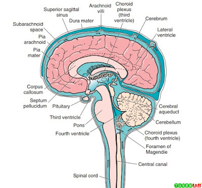 Components of the central nervous system (CNS) and flow pattern of cerebrospinal fluid (CSF).