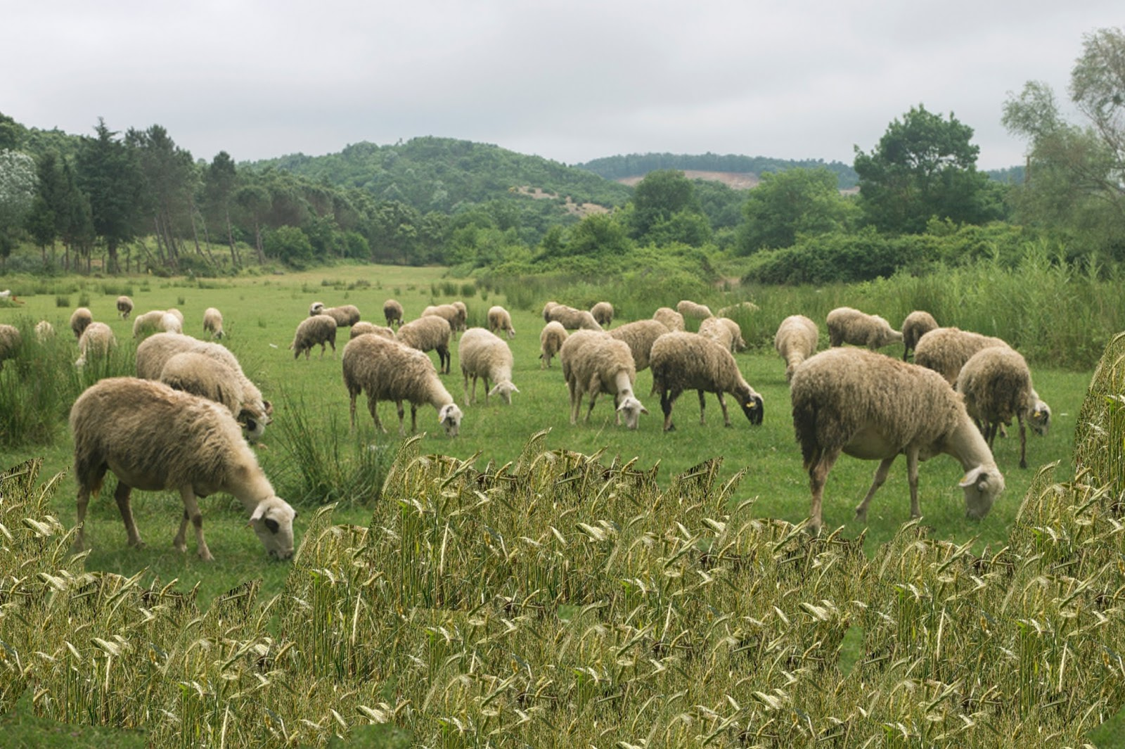 Pillar Of Enoch Ministry Blog Be A Sheep Grazing In A Pen