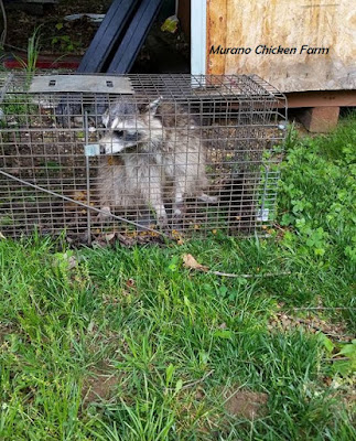 Trapped raccoon from inside chicken coop