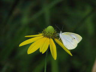 黄色い花に止まったモンシロチョウ