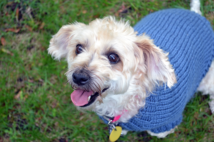 Confessions of a non-DIY dog mom: Ruby in her blue handmade sweater made by someone else
