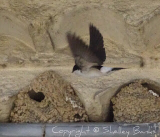 House Martins. Carassonne. Copyright © Shelley Banks, all rights reserved.