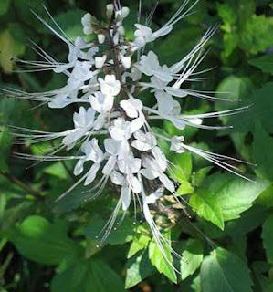 daun kumis kucing sebagai obat herbal untuk gonore