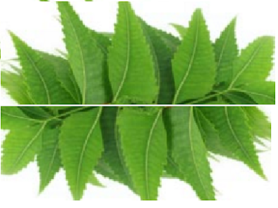Benefits of Neem for hair, skin and health Prevents Hair Fall