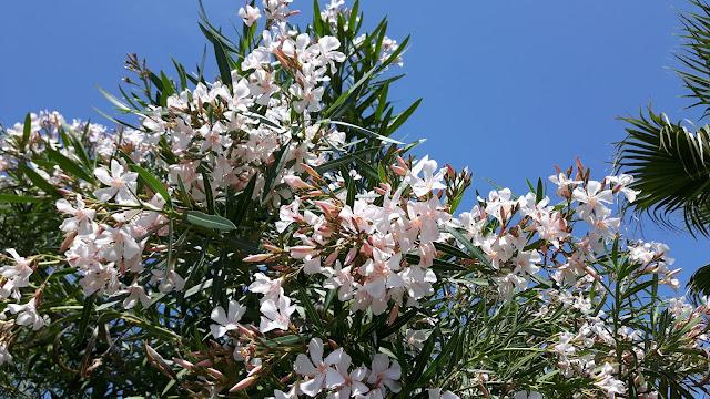 Familienreiseblog: Oleander auf Mallorca