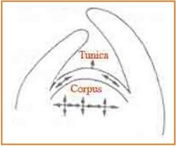 Teori Tunika Korpus Titik Pertumbuhan Tumbuhan