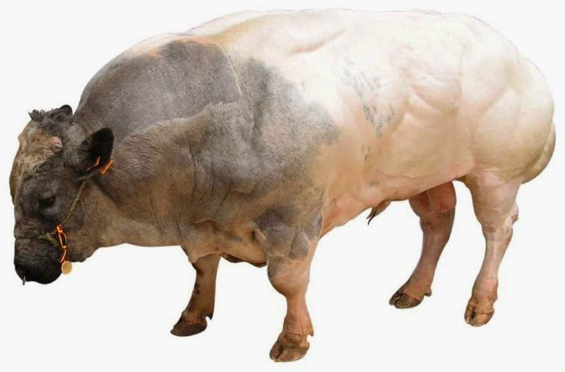 Image of a belgian blue bull