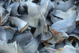 Daftar Harga Sirip Ikan Hiu April 2019