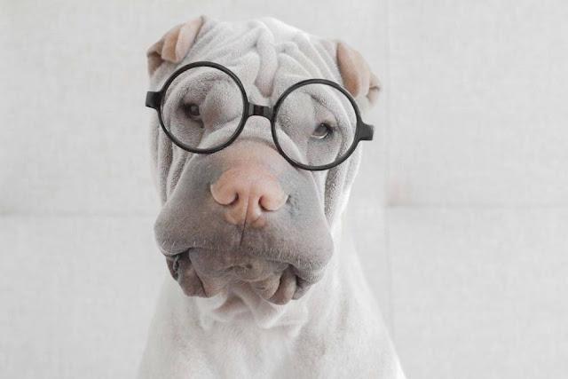 Paddington - The Cute Shar Pei Dog