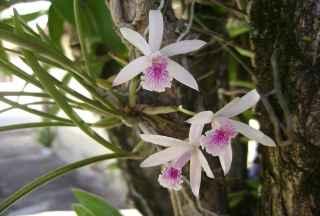 Foto 3 - orquídeas terrestres