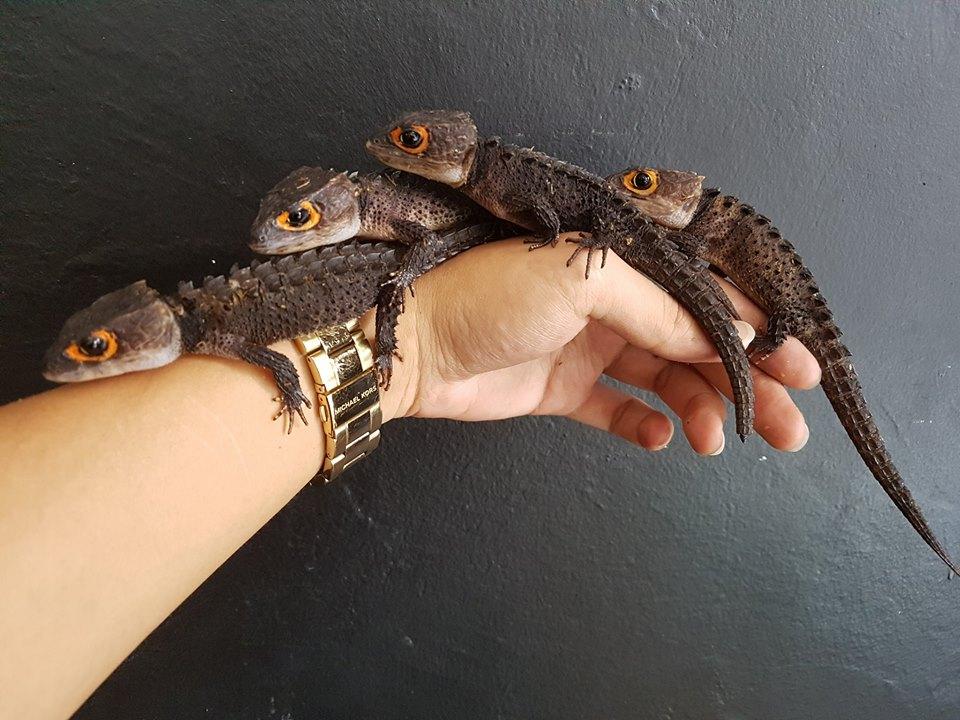 Baby crocodile skink