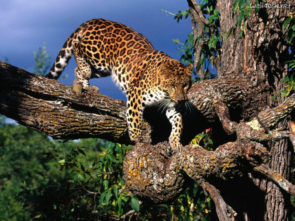 Hd Images Of The Wild Animals Wallpapers And Backgrounds: Natureza Selvagem E Radical: Panthera Pardus