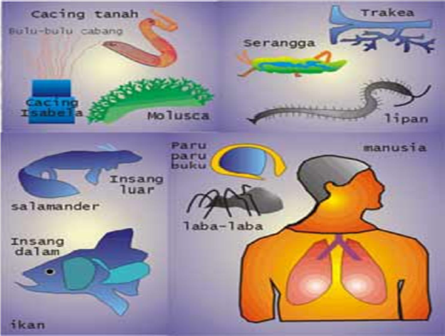 Gambar Berbagai Alat Respirasi Pada Hewan dan Manusia