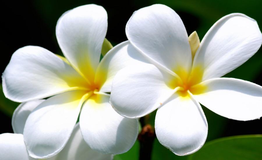 Kumpulan Gambar Bunga Kamboja:Blog Bunga