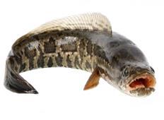 Produk Kesehatan Ekstrak Ikan Gabus Walatra Albumin