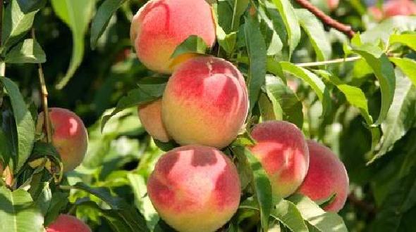 Tanpa banyak bacot, berikut adalah kisah persik batu di pulau bangka.