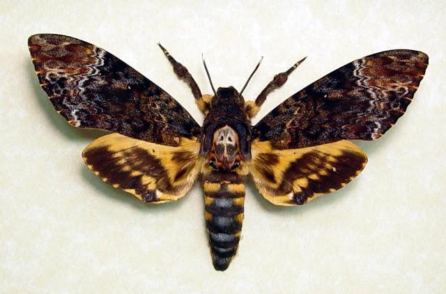 Outra diferença bastante significante é que, enquanto as borboletas mantêm suas asas fechadas depois de pousarem, as mariposas deixam as suas abertas.