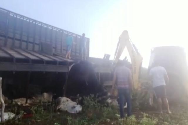 Chapada: Caminhão boiadeiro tomba e deixa vários animais mortos