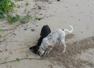 Die Hunde auf Krabbenjagd