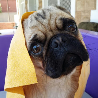 Pug-washed-outside-with-towel-on-his-head