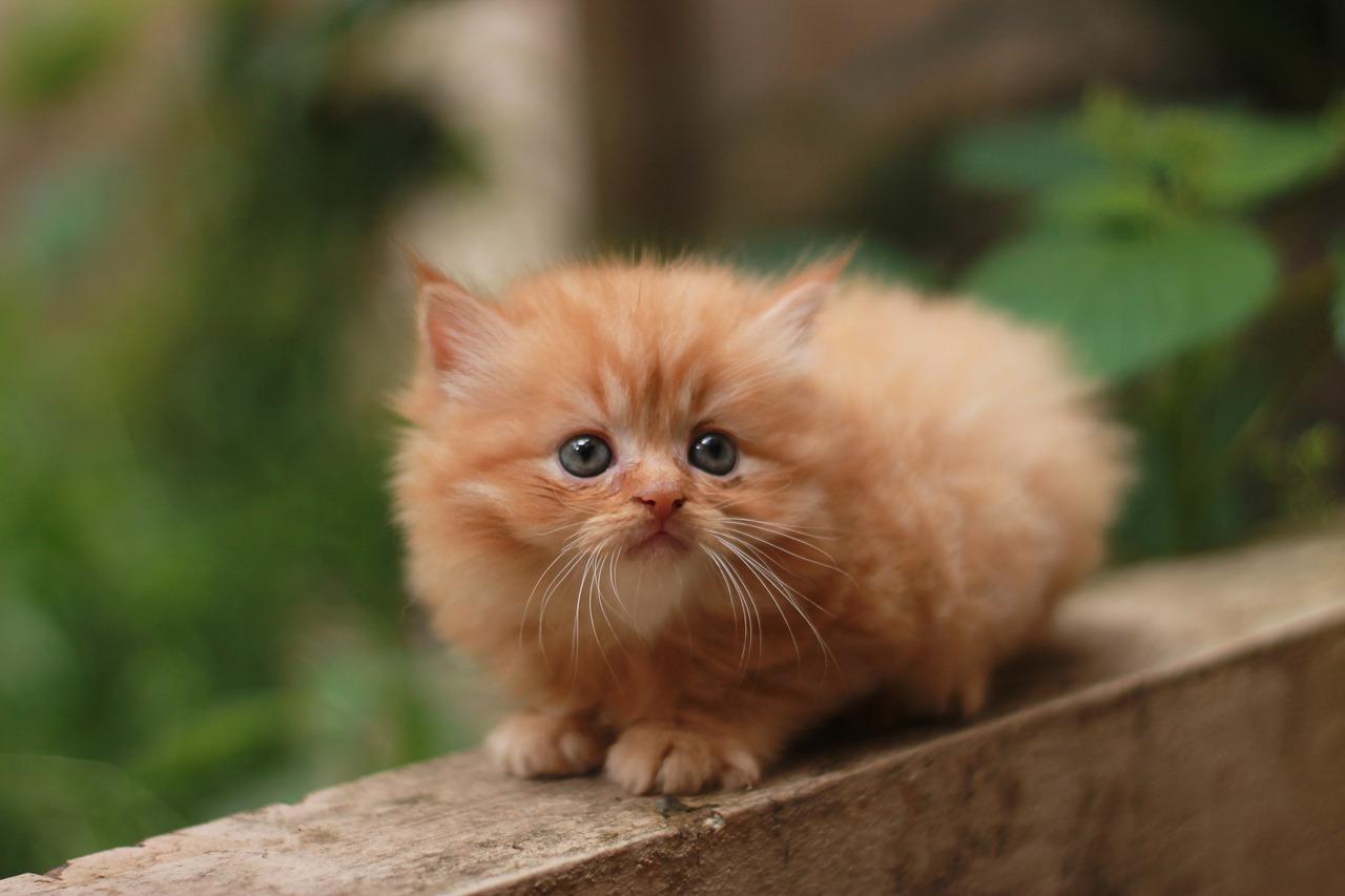 kucing oren duduk bergambar