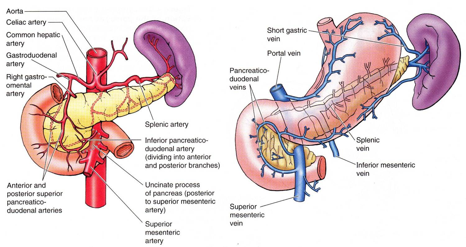 Portal Vasculature Diagram Deh P4000ub Wiring Medical Images Arterial Supply And Venous Drainage Of The