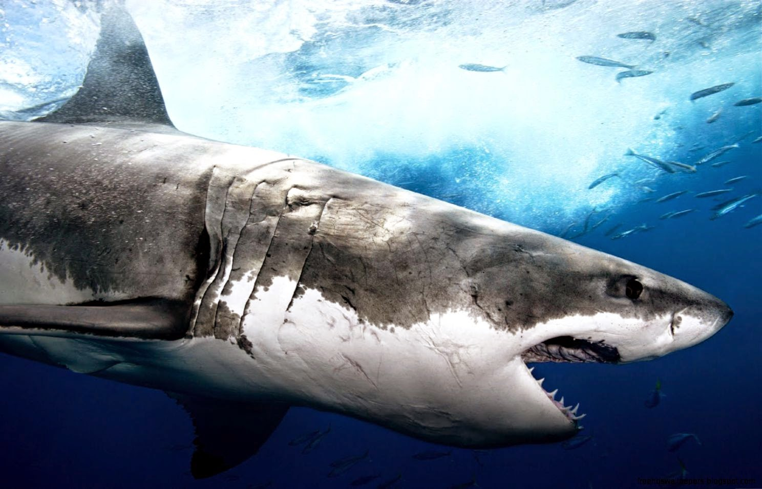 Great White Wallpapers