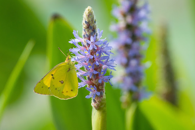 Cloudless Sulphur on Pickerelweed, John Bunker Sands Wetland Center
